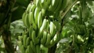 Stock Video Footage of Banana bush at the plantation