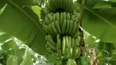 Banana bush at the plantation Stock Footage