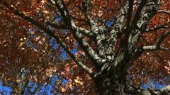 Red Fall Leaves with Deep Blue Autumn Sky - stock footage