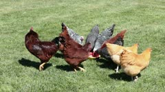 Chickens eating rooster as guards flock HD 3244 Stock Footage