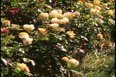 Parks of London, medium close up roses, 1976, London, England, 1970's Stock Footage