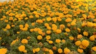 Stock Video Footage of Flowerbed of orange chrysanthemums