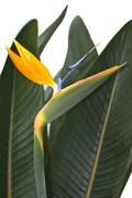 bird of paradise - stock photo