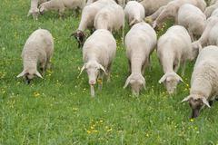 Stock Photo of sheep grazing