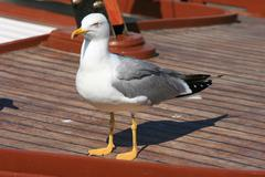 Sea gull in the sun - stock photo