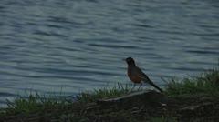 Robin runs off screen - stock footage