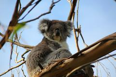 Tasmanian Koala sitting in a tree with blue sky background - stock photo