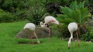 Greater Flamingo Stock Footage