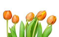 Stock Photo of tulips