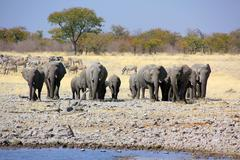 Elephants in Namibia at waterhole - stock photo