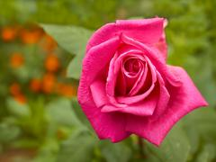 bright pink rose in flowerbed - stock photo