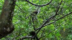 A pair of Knysna lourie in the tree - stock footage