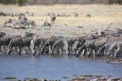 group of zebras drinking water - stock photo