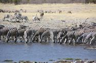 Group of zebras drinking water Stock Photos