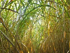 Miscanthus,switchgrass Stock Photos