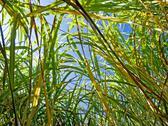 Stock Photo of miscanthus,switchgrass