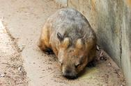 Australian wombat Stock Photos