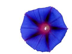 flower of morning glory - stock photo