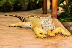 Portrait of an iguana yellow.  high Stock Photos