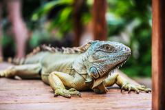 portrait with a large green iguana - stock photo