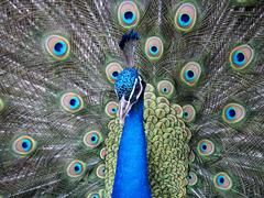 Stock Photo of peacock