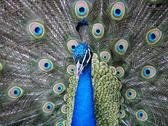 Stock Photo of peacock