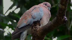 Laughing dove Stock Footage