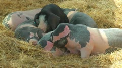 Pigs on the farm Stock Footage