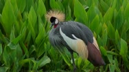 A crowned crane  looking around Stock Footage