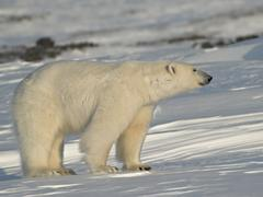 Polar Bear - King of the Arctic - stock photo