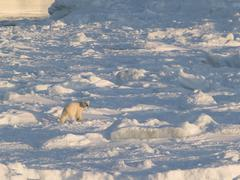 Polar bear walking on the frozen fiord - stock photo