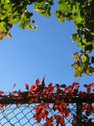 Colourful ivy on a chain link fence Stock Photos