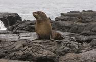 Fur Sea lion on the Galapagos Islands Stock Photos