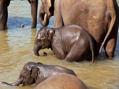 Norsu Sri Lankasta Kuvituskuvat