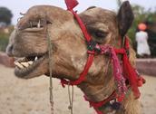 Camel in desert Oasis India Stock Photos