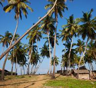 palm on sri lanka - stock photo