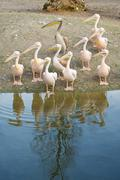 Stock Photo of pelicans along the shore