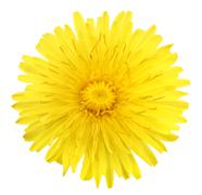One yellow flower of dandelion Stock Photos