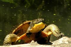 Blanding`s turtle frontal view Stock Photos