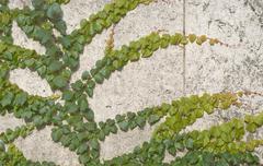 climbing vines of ivy - stock photo