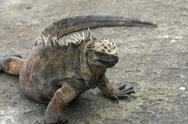 Marine Iguana on the Galapagos Islands Stock Photos