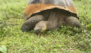 Giant Galapagos Tortoise Stock Photos