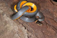 ringnecked snake closeup - stock photo