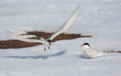 Arctic tern - Spitsbergen, Svalbard Stock Photos