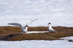 Arctic tern - Spitsbergen, Svalbard - stock photo