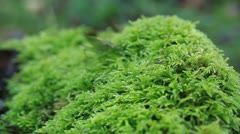 Grasshopper on the moss in forest Stock Footage