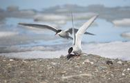 Stock Photo of Arctic tern - Spitsbergen, Svalbard