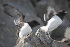 Little auks colony - Arctic, Spitsbergen Stock Photos