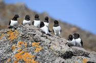 Stock Photo of Little auks colony - Arctic, Spitsbergen