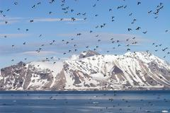 Little auks colony - Arctic, Spitsbergen - stock photo
